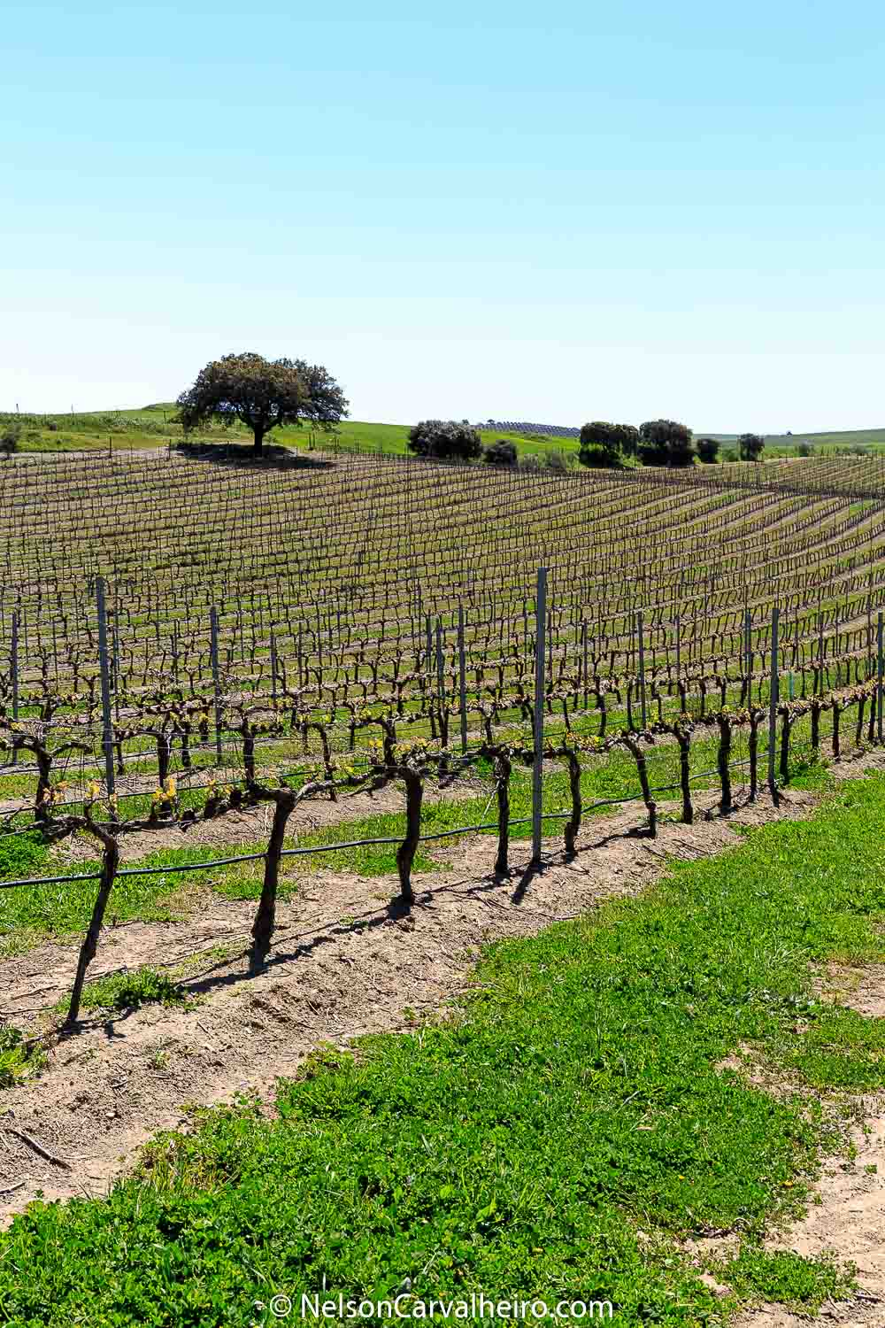 Alentejo Wine Travel Guide - Adega Mayor - Vineyard