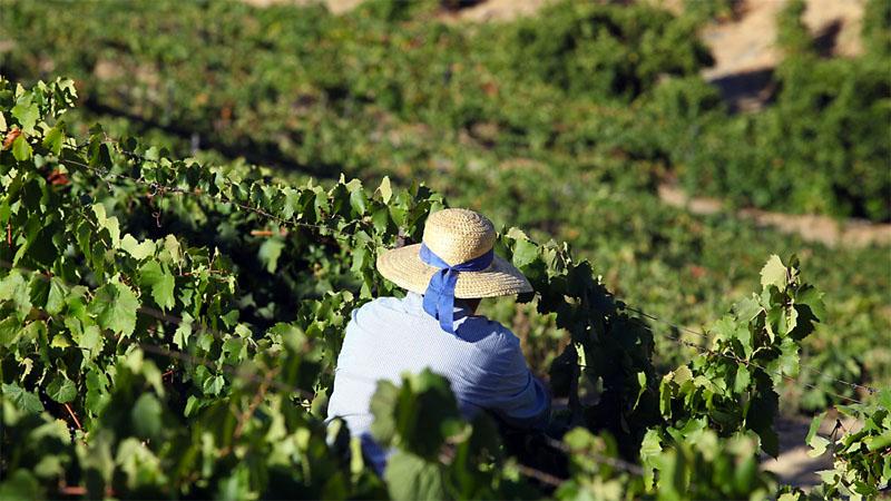 Douro Harvest Season