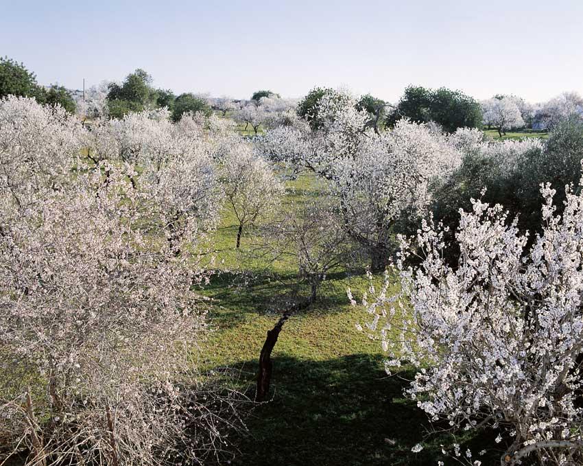 almond trees in bloom in Algarve