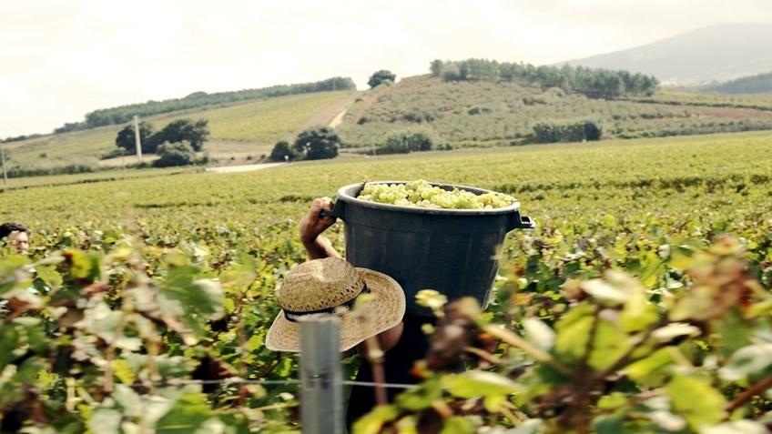 Quinta do Gradil; Harvest Experience; Harvest in Portugal