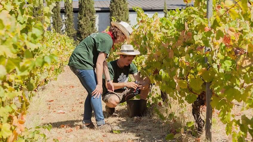 Quinta da Pacheca; Harvest in Douro;