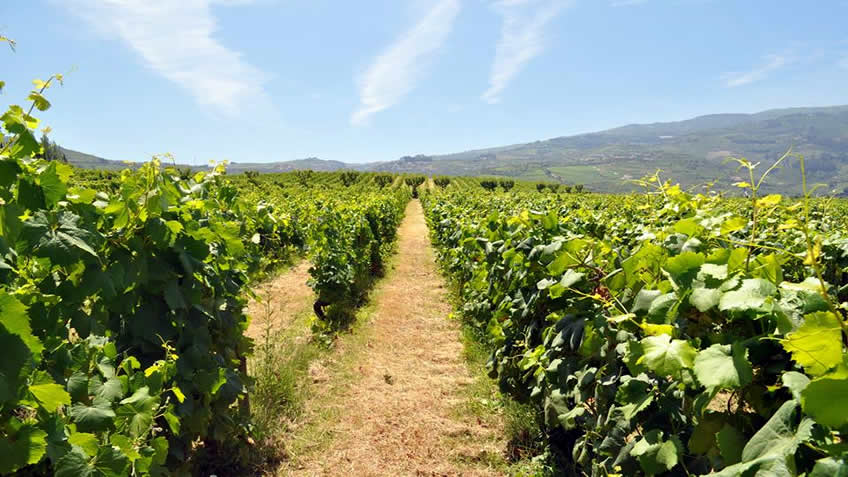 Quinta da Pacheca - Vinha; Tour in Douro; Port Wine; Wineries in Douro