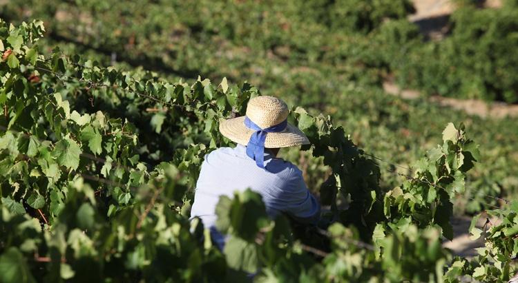 Harvest Douro